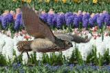 18 t/m 21 april 2014 roofvogeldemonstraties Keukenhof