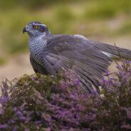 Roofvogelfotografie workshop o.l.v. Richard Verroen
