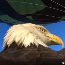 Roofvogels op Ballonfiesta Barneveld 2016